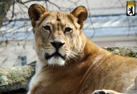 Der Löwe heeßt Leewe, weiler durch de Wiesde leefd.