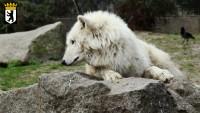 Ein trauriger Wolf. 'sch gännde ween!