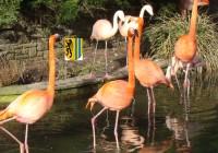 Rote Flamingos, die Farbe kommt von den Krebstierchen, die sie fressen. Deshalb bekommen sie in Zoos spezielles Futter mit natürlichem Farbstoff.
