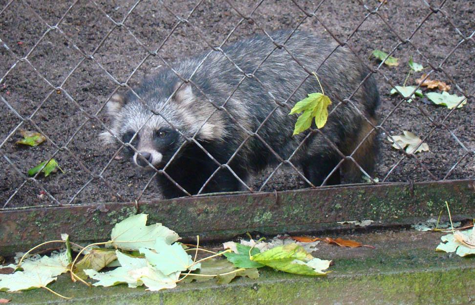 spuren waschbär marderhund